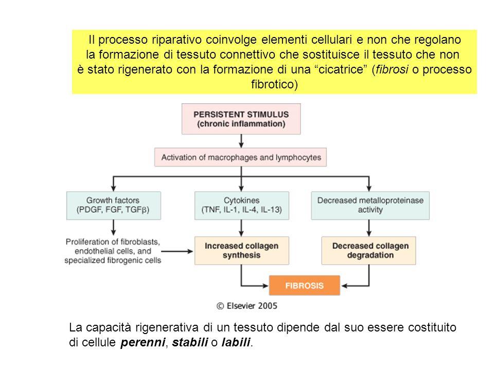 Il processo riparativo coinvolge elementi cellulari e non che regolano la formazione di tessuto connettivo che sostituisce il tessuto che non è stato