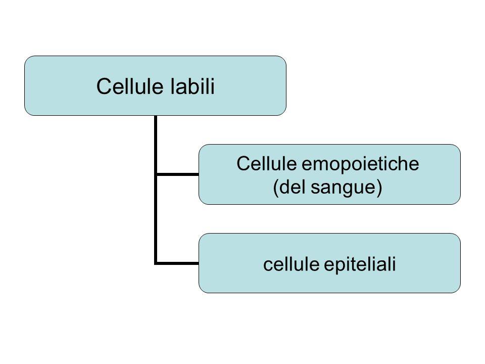 Cellule labili Cellule emopoietiche (del sangue) cellule epiteliali