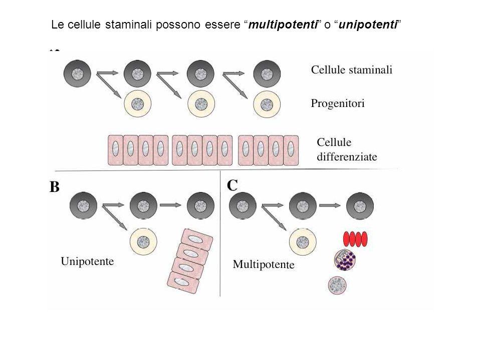 Le cellule staminali possono essere multipotenti o unipotenti