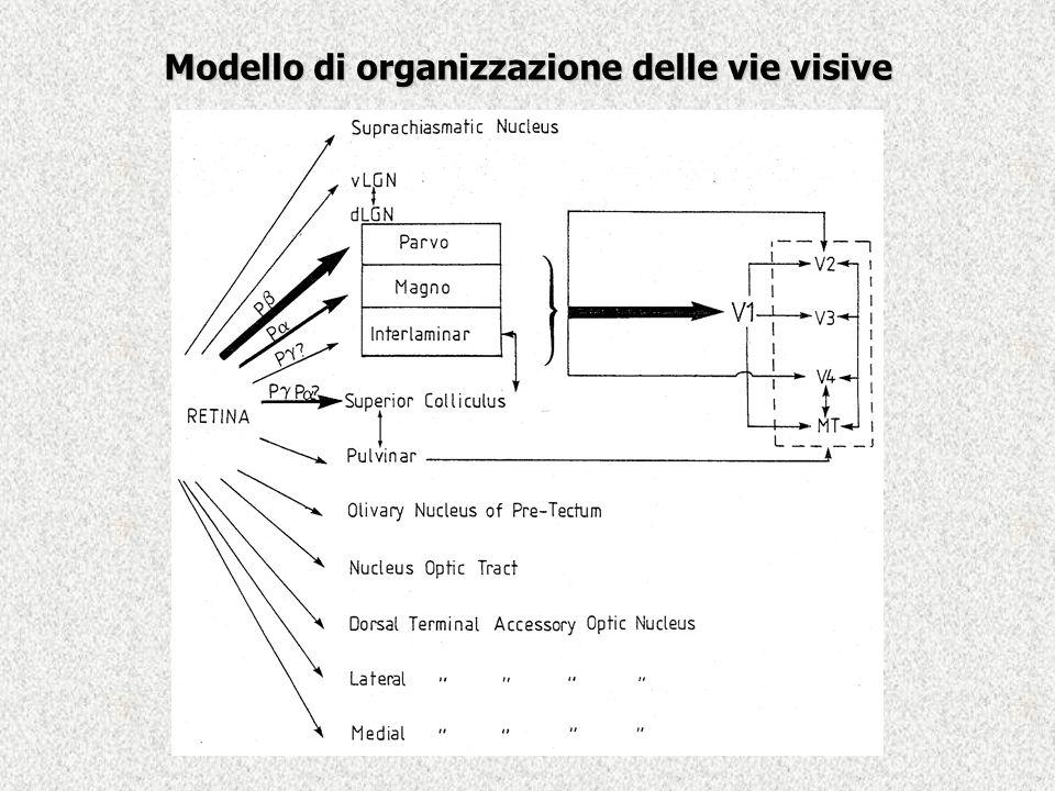 Modello di organizzazione delle vie visive