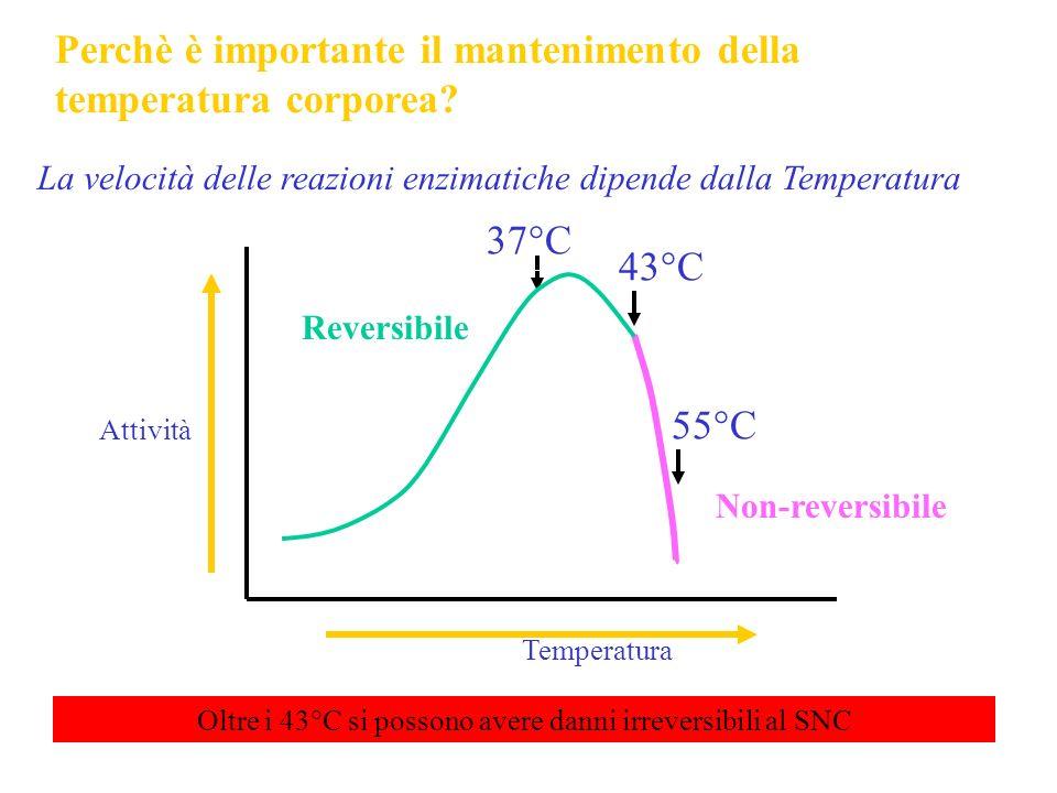 Perchè è importante il mantenimento della temperatura corporea? La velocità delle reazioni enzimatiche dipende dalla Temperatura Temperatura 37°C 55°C