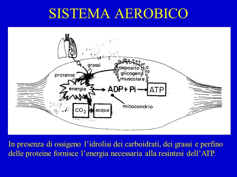 SISTEMA AEROBICO In presenza di ossigeno lidrolisi dei carboidrati, dei grassi e perfino delle proteine fornisce lenergia necessaria alla resintesi de