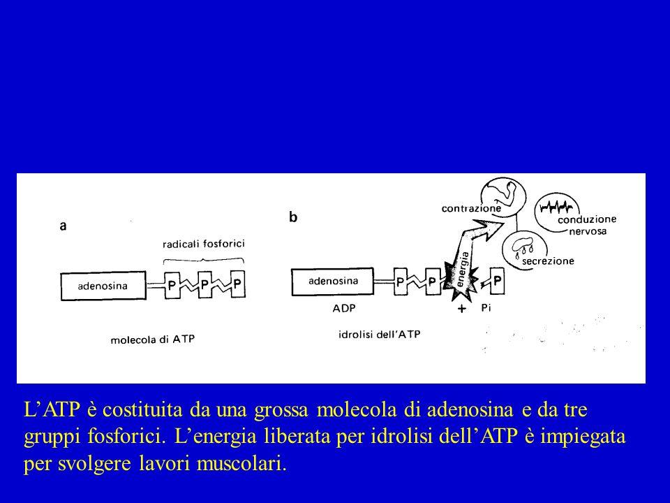 LATP è costituita da una grossa molecola di adenosina e da tre gruppi fosforici. Lenergia liberata per idrolisi dellATP è impiegata per svolgere lavor