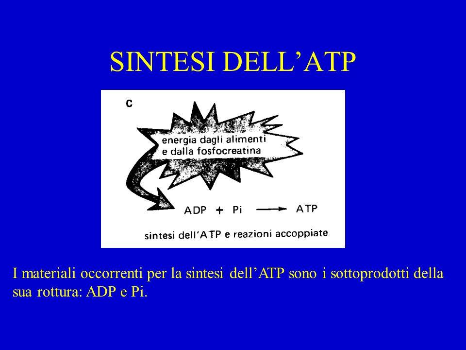 SINTESI DELLATP I materiali occorrenti per la sintesi dellATP sono i sottoprodotti della sua rottura: ADP e Pi.