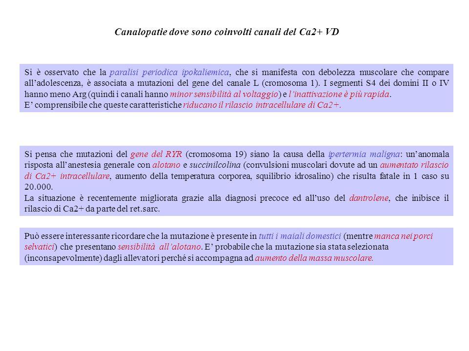 Ca 2+ Ca 2+ Ca 2+ Ca 2+ Modello per il rilascio voltaggio- dipendente del Ca 2+ Vm Ca 2+ + + + + + - - - - Depolarizzata Ca 2+ + + + + + - - - - Senso