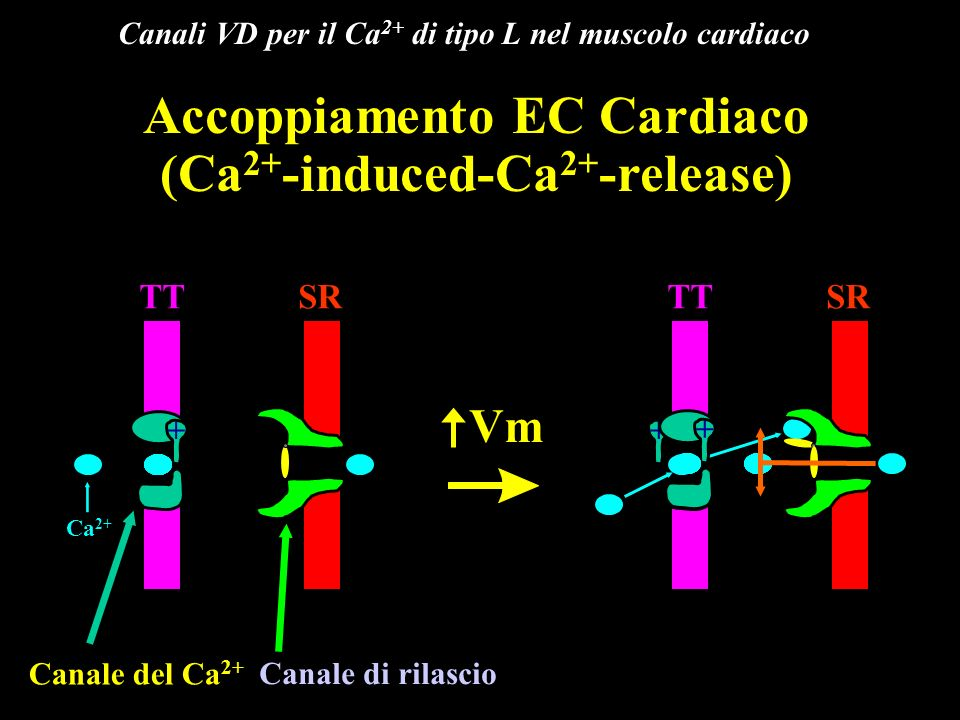 Canalopatie dove sono coinvolti canali del Ca2+ VD Si è osservato che la paralisi periodica ipokaliemica, che si manifesta con debolezza muscolare che