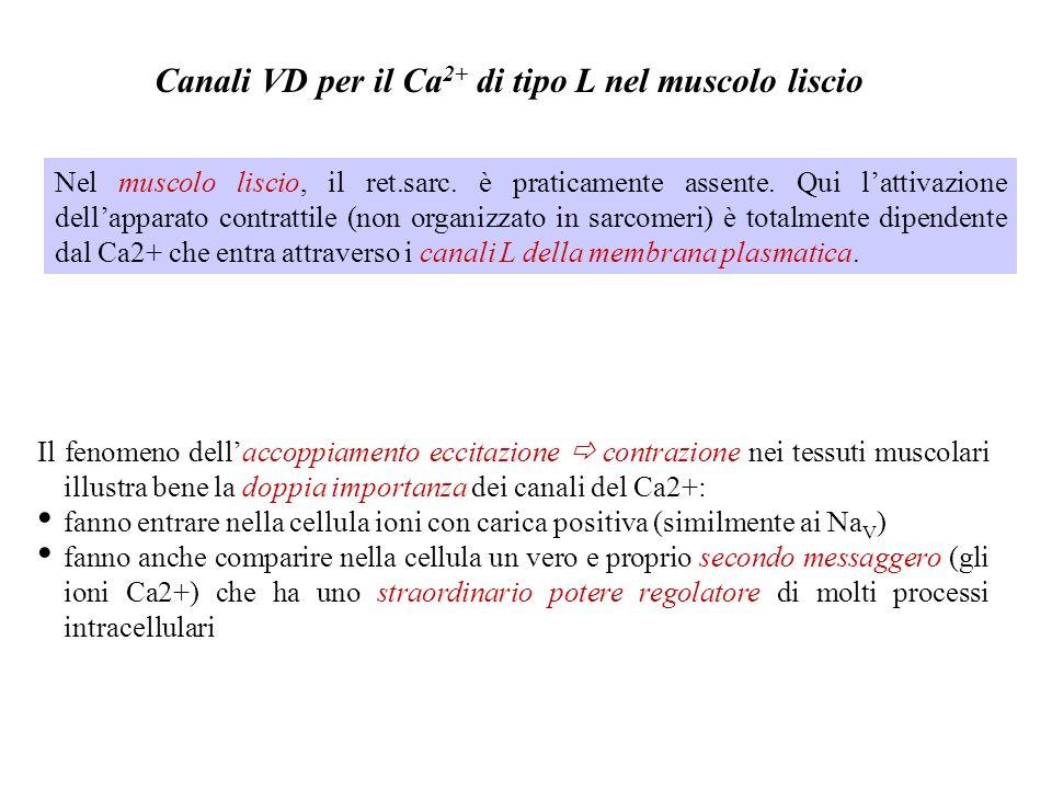 Canali VD per il Ca 2+ di tipo L nel muscolo cardiaco SR + TT Ca 2+ SRTT Accoppiamento EC Cardiaco (Ca 2+ -induced-Ca 2+ -release) Canale del Ca 2+ Ca