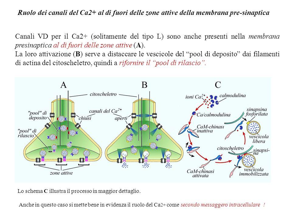 La combinazione del neurotrasmettitore con i propri recettori presenti nella membrana postsinaptica consentirà la trasmissione sinaptica (una depolari