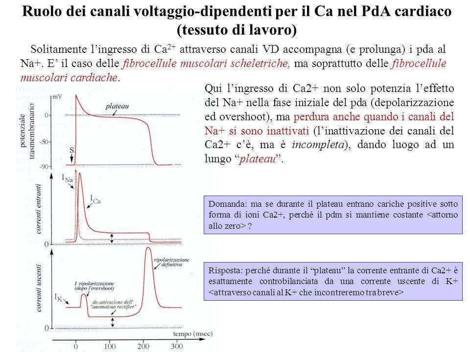 g Ca aiuta a raggiungere la soglia g Ca = 0 10 nA 1.5 s 10 nA g Ca = 2 S La presenza di canali del calcio aumenta leccitabilità neuronale