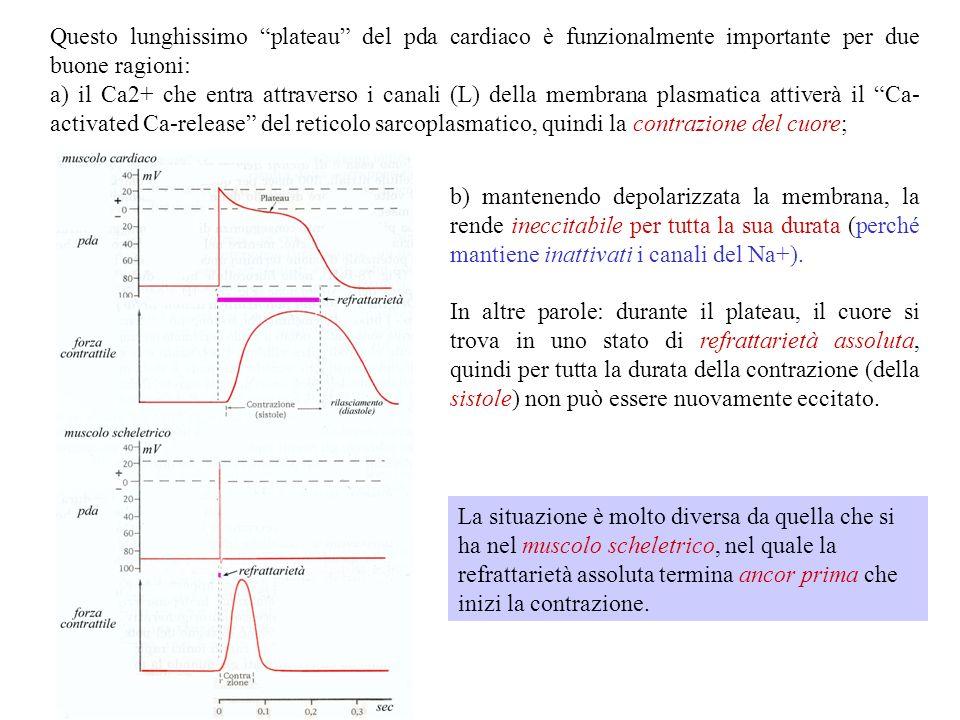 Solitamente lingresso di Ca 2+ attraverso canali VD accompagna (e prolunga) i pda al Na+. E il caso delle fibrocellule muscolari scheletriche, ma sopr