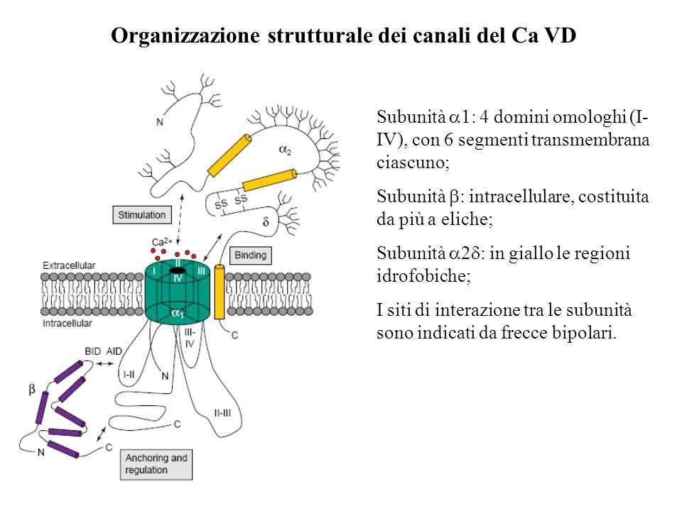 La struttura molecolare dei canali del Ca 2+ è nel suo insieme del tutto simile a quella dei Na V, sebbene (piccole) differenze nelle sequenze cambino
