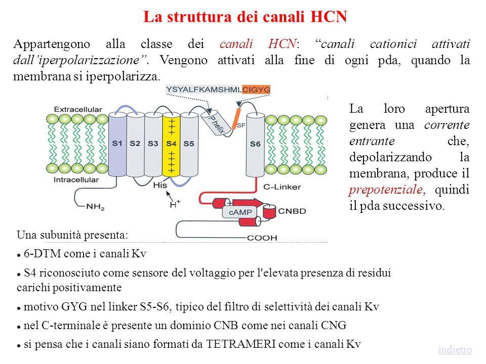 Attività oscillatoria -65 mV -65 mV ------ PdA al Na + Spike al Ca 2+ attivazione I h attivazione I T deattivazione I h inattivazione I T rimozione in