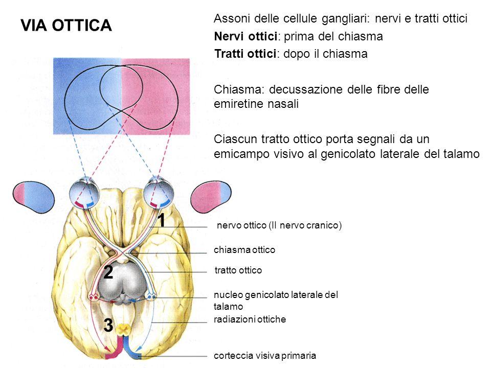 VIA OTTICA nervo ottico (II nervo cranico) chiasma ottico nucleo genicolato laterale del talamo tratto ottico radiazioni ottiche corteccia visiva primaria 1 2 3 Assoni delle cellule gangliari: nervi e tratti ottici Nervi ottici: prima del chiasma Tratti ottici: dopo il chiasma Chiasma: decussazione delle fibre delle emiretine nasali Ciascun tratto ottico porta segnali da un emicampo visivo al genicolato laterale del talamo