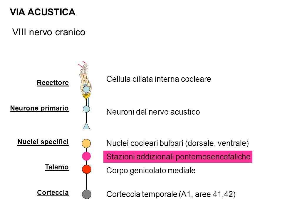 Recettore Neurone primario Nuclei specifici Talamo Corteccia VIA ACUSTICA Cellula ciliata interna cocleare Nuclei cocleari bulbari (dorsale, ventrale) Corteccia temporale (A1, aree 41,42) Neuroni del nervo acustico Corpo genicolato mediale VIII nervo cranico Stazioni addizionali pontomesencefaliche