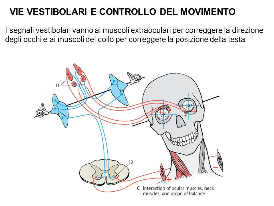 VIE VESTIBOLARI E CONTROLLO DEL MOVIMENTO I segnali vestibolari vanno ai muscoli extraoculari per correggere la direzione degli occhi e ai muscoli del collo per correggere la posizione della testa