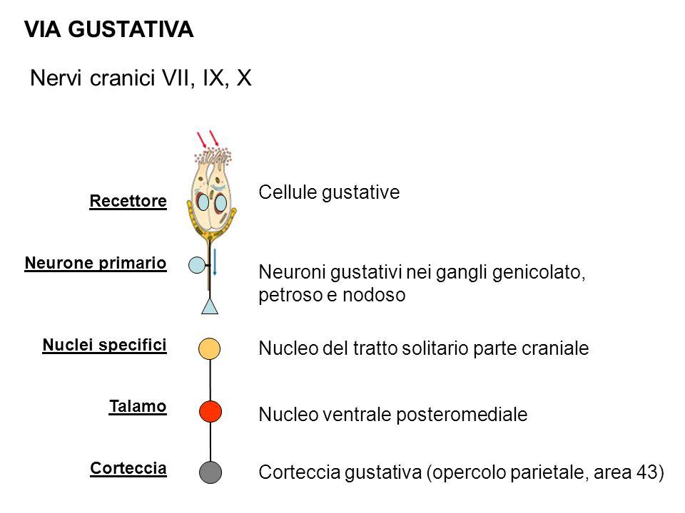 Recettore Neurone primario Nuclei specifici Talamo Corteccia VIA GUSTATIVA Cellule gustative Nucleo del tratto solitario parte craniale Corteccia gustativa (opercolo parietale, area 43) Neuroni gustativi nei gangli genicolato, petroso e nodoso Nucleo ventrale posteromediale Nervi cranici VII, IX, X