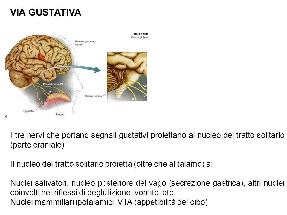 VIA GUSTATIVA I tre nervi che portano segnali gustativi proiettano al nucleo del tratto solitario (parte craniale) Il nucleo del tratto solitario proietta (oltre che al talamo) a: Nuclei salivatori, nucleo posteriore del vago (secrezione gastrica), altri nuclei coinvolti nei riflessi di deglutizione, vomito, etc.