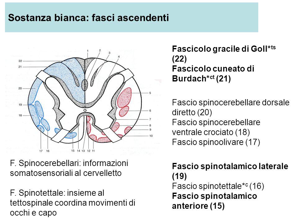 Sostanza bianca: fasci ascendenti Fascicolo gracile di Goll* ts (22) Fascicolo cuneato di Burdach* ct (21) Fascio spinocerebellare dorsale diretto (20) Fascio spinocerebellare ventrale crociato (18) Fascio spinoolivare (17) Fascio spinotalamico laterale (19) Fascio spinotettale* c (16) Fascio spinotalamico anteriore (15) F.