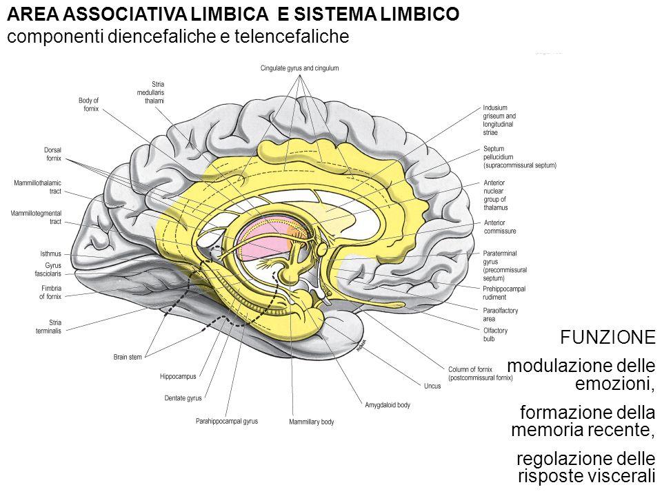 AREA ASSOCIATIVA LIMBICA E SISTEMA LIMBICO componenti diencefaliche e telencefaliche FUNZIONE modulazione delle emozioni, formazione della memoria recente, regolazione delle risposte viscerali