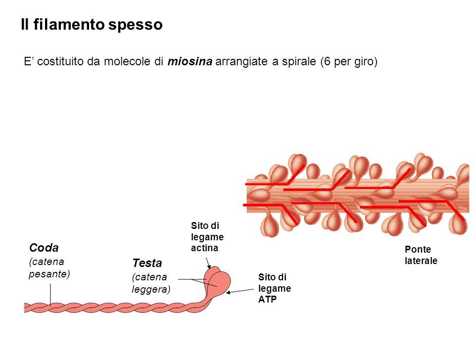 Il filamento spesso E costituito da molecole di miosina arrangiate a spirale (6 per giro) Coda (catena pesante) Testa (catena leggera) Sito di legame actina Sito di legame ATP Ponte laterale