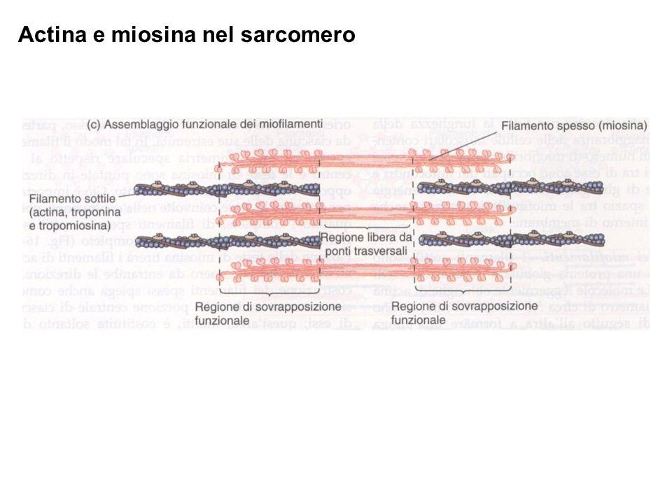 Actina e miosina nel sarcomero