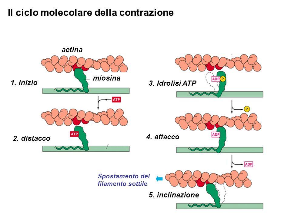 Il ciclo molecolare della contrazione 2.distacco 1.