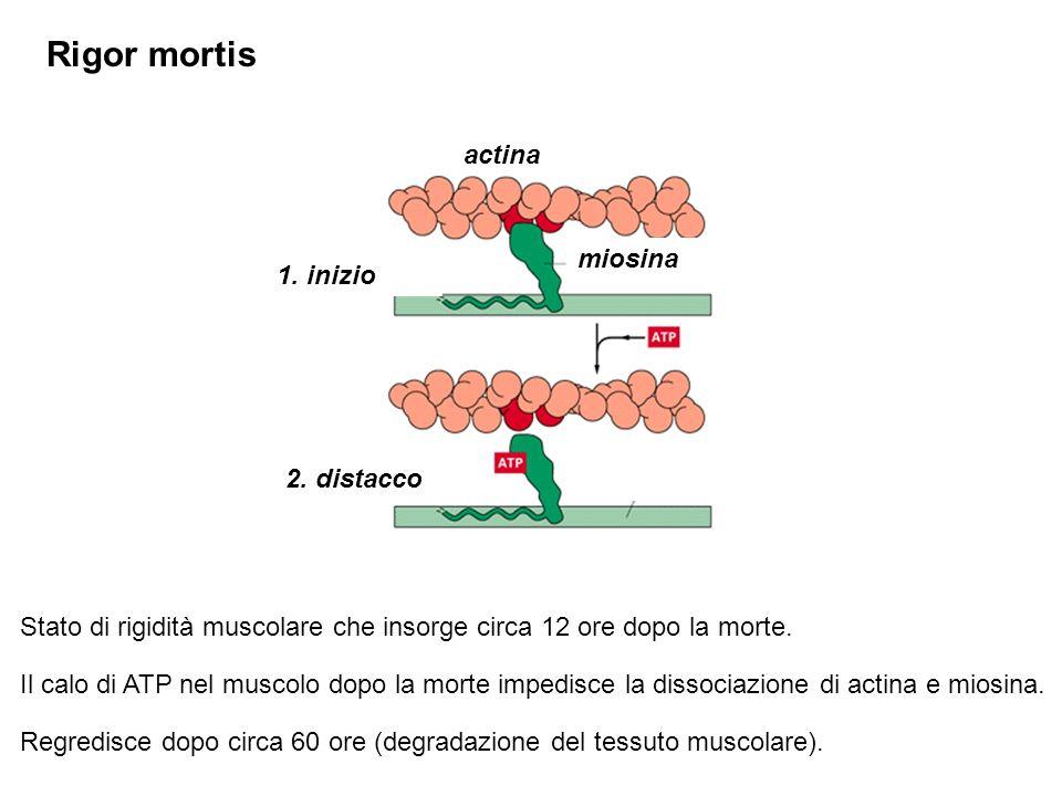 Rigor mortis Stato di rigidità muscolare che insorge circa 12 ore dopo la morte.
