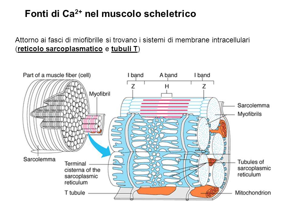 Fonti di Ca 2+ nel muscolo scheletrico Attorno ai fasci di miofibrille si trovano i sistemi di membrane intracellulari (reticolo sarcoplasmatico e tubuli T)
