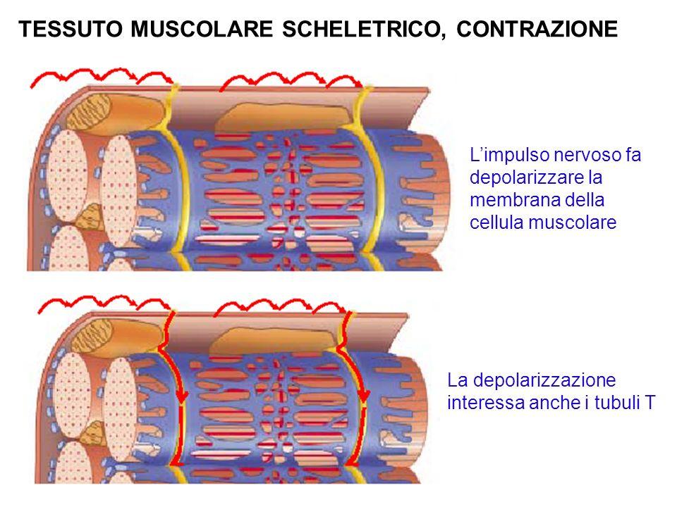 TESSUTO MUSCOLARE SCHELETRICO, CONTRAZIONE Limpulso nervoso fa depolarizzare la membrana della cellula muscolare La depolarizzazione interessa anche i tubuli T