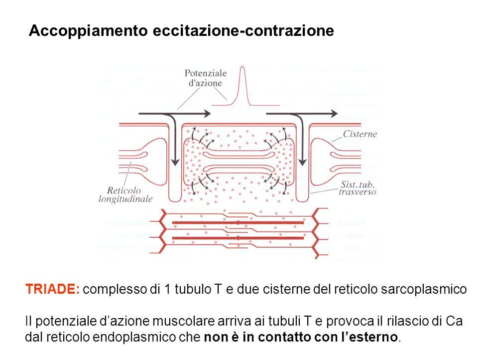 TRIADE: complesso di 1 tubulo T e due cisterne del reticolo sarcoplasmico Il potenziale dazione muscolare arriva ai tubuli T e provoca il rilascio di Ca dal reticolo endoplasmico che non è in contatto con lesterno.