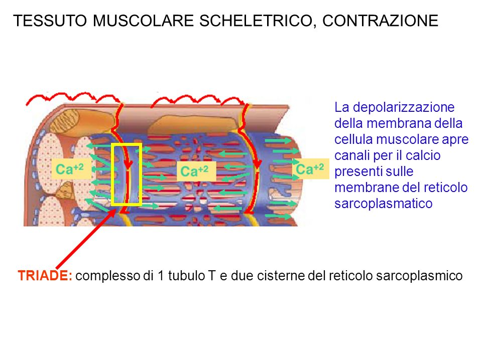 TESSUTO MUSCOLARE SCHELETRICO, CONTRAZIONE La depolarizzazione della membrana della cellula muscolare apre canali per il calcio presenti sulle membrane del reticolo sarcoplasmatico TRIADE: complesso di 1 tubulo T e due cisterne del reticolo sarcoplasmico