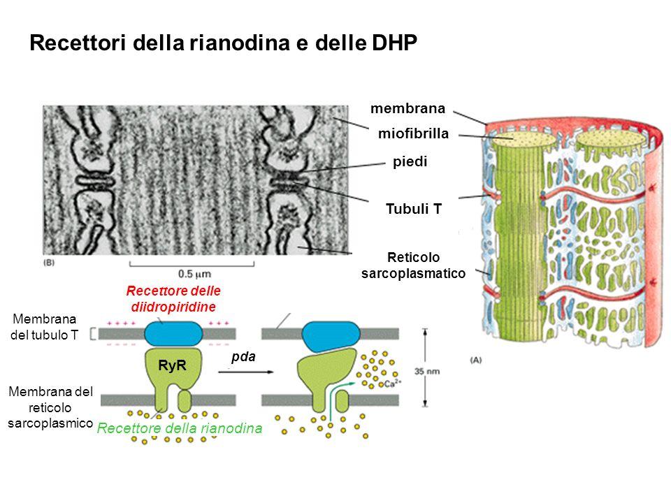 Recettori della rianodina e delle DHP piedi Tubuli T miofibrilla membrana Reticolo sarcoplasmatico Membrana del tubulo T Membrana del reticolo sarcoplasmico RyR Recettore delle diidropiridine Recettore della rianodina pda