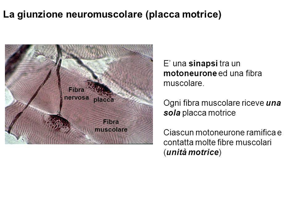 La giunzione neuromuscolare (placca motrice) E una sinapsi tra un motoneurone ed una fibra muscolare.