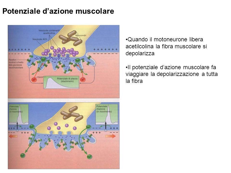 Potenziale dazione muscolare Quando il motoneurone libera acetilcolina la fibra muscolare si depolarizza Il potenziale dazione muscolare fa viaggiare la depolarizzazione a tutta la fibra