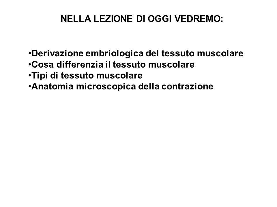 Attività anaerobica In condizioni di sforzi intensi rapidi i muscoli usano solo la glicolisi per produrre ATP.