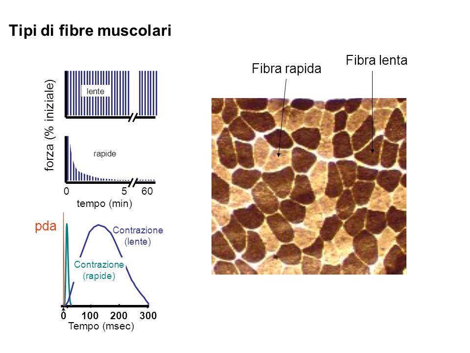 forza (% iniziale) tempo (min) 5060 rapide lente Tipi di fibre muscolari Contrazione (lente) Tempo (msec) 0 100200300 Contrazione (rapide) pda Fibra lenta Fibra rapida