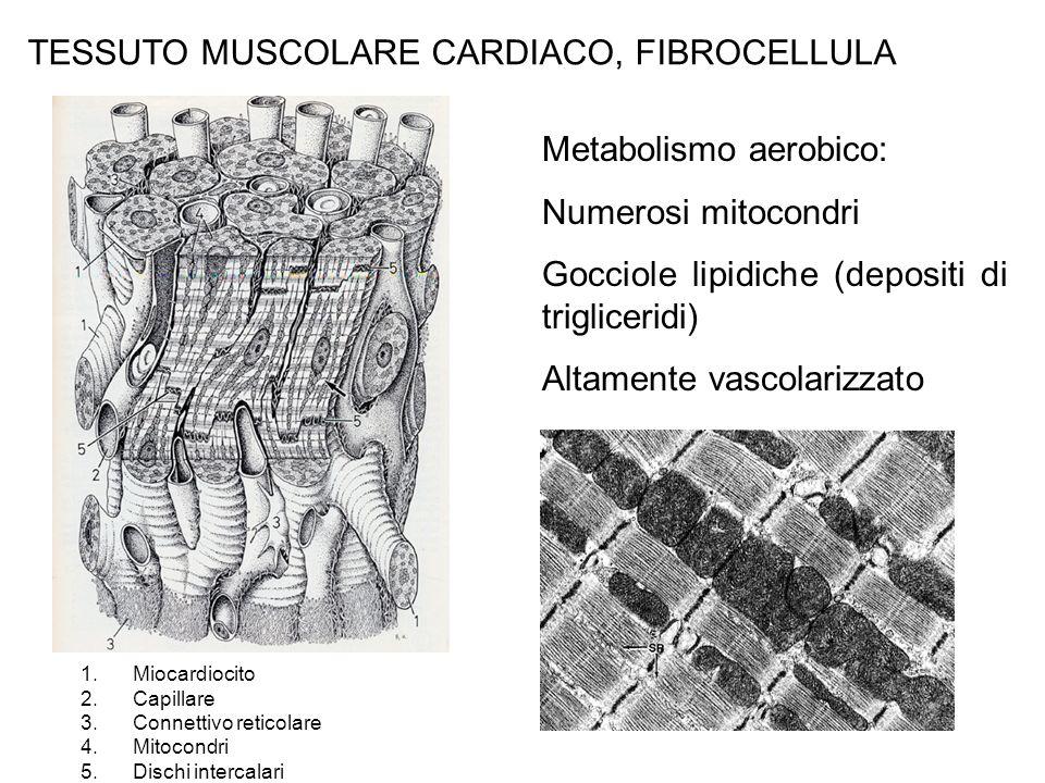 TESSUTO MUSCOLARE CARDIACO, FIBROCELLULA Metabolismo aerobico: Numerosi mitocondri Gocciole lipidiche (depositi di trigliceridi) Altamente vascolarizzato 1.Miocardiocito 2.Capillare 3.Connettivo reticolare 4.Mitocondri 5.Dischi intercalari