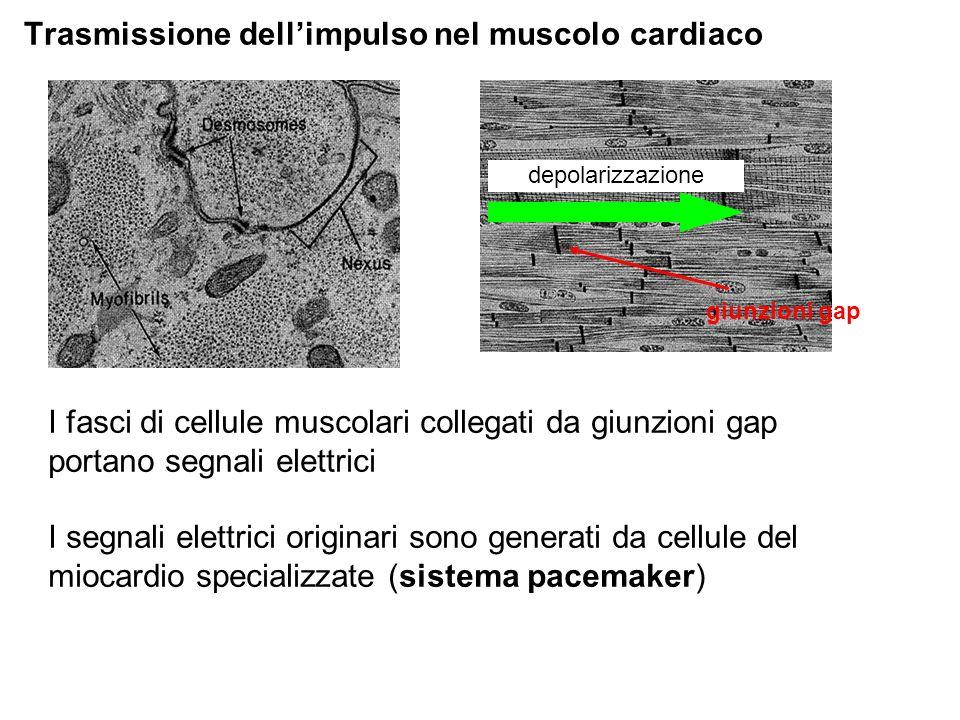 Trasmissione dellimpulso nel muscolo cardiaco depolarizzazione giunzioni gap I fasci di cellule muscolari collegati da giunzioni gap portano segnali elettrici I segnali elettrici originari sono generati da cellule del miocardio specializzate (sistema pacemaker)