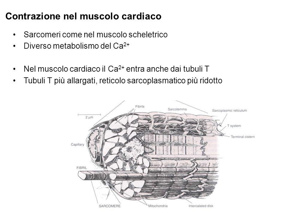 Contrazione nel muscolo cardiaco Sarcomeri come nel muscolo scheletrico Diverso metabolismo del Ca 2+ Nel muscolo cardiaco il Ca 2+ entra anche dai tubuli T Tubuli T più allargati, reticolo sarcoplasmatico più ridotto