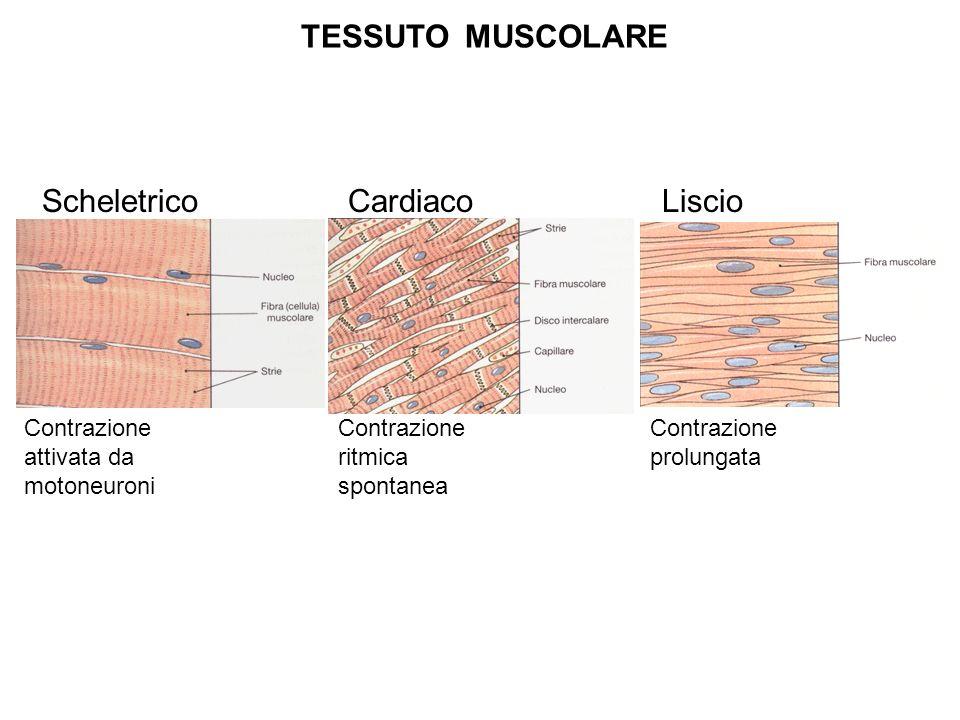 TESSUTO MUSCOLARE Scheletrico Cardiaco Liscio Contrazione attivata da motoneuroni Contrazione ritmica spontanea Contrazione prolungata