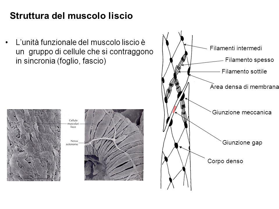 Lunità funzionale del muscolo liscio è un gruppo di cellule che si contraggono in sincronia (foglio, fascio) Filamenti intermedi Filamento spesso Filamento sottile Area densa di membrana Corpo denso Giunzione meccanica Giunzione gap Struttura del muscolo liscio