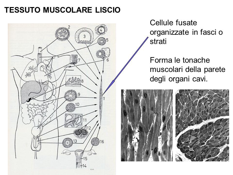 Cellule fusate organizzate in fasci o strati Forma le tonache muscolari della parete degli organi cavi.