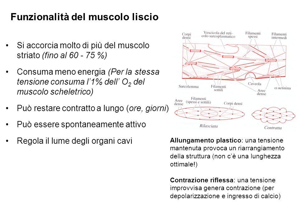 Si accorcia molto di più del muscolo striato (fino al 60 - 75 %) Consuma meno energia (Per la stessa tensione consuma l1% dell O 2 del muscolo scheletrico) Può restare contratto a lungo (ore, giorni) Può essere spontaneamente attivo Regola il lume degli organi cavi Funzionalità del muscolo liscio Allungamento plastico: una tensione mantenuta provoca un riarrangiamento della struttura (non cè una lunghezza ottimale!) Contrazione riflessa: una tensione improvvisa genera contrazione (per depolarizzazione e ingresso di calcio)