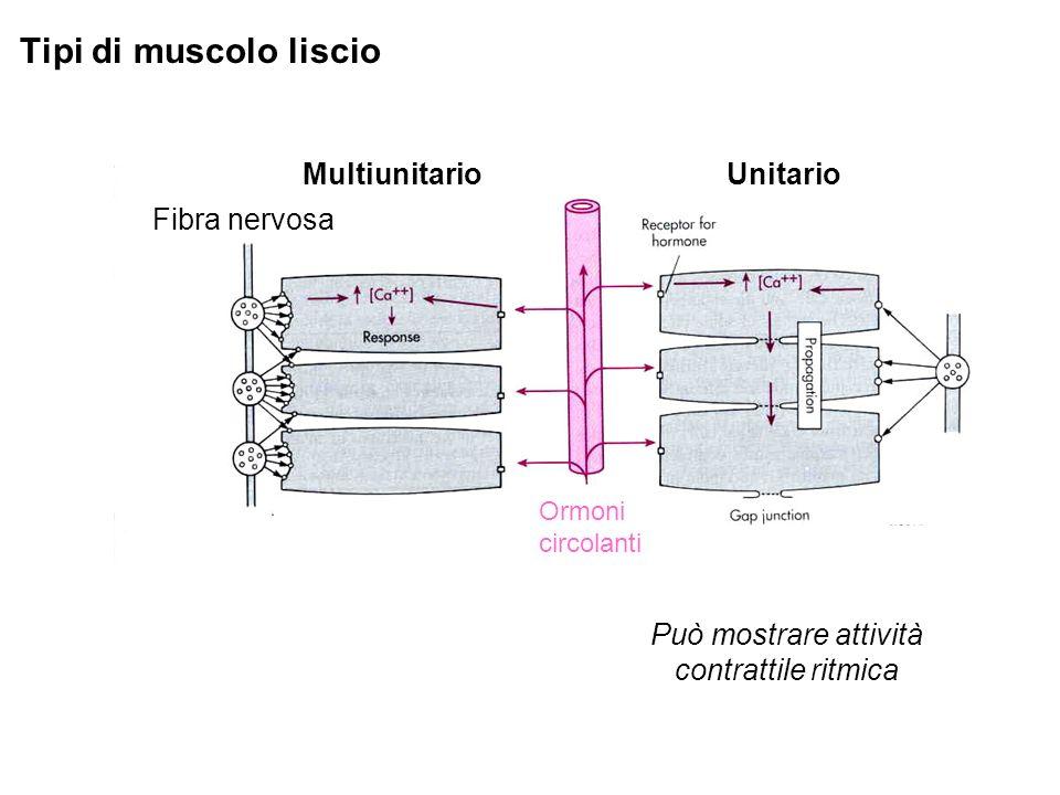 Tipi di muscolo liscio MultiunitarioUnitario Ormoni circolanti Fibra nervosa Può mostrare attività contrattile ritmica