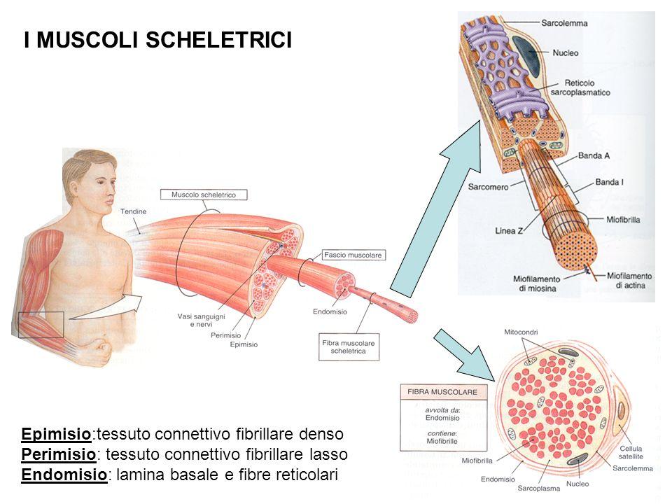 I MUSCOLI SCHELETRICI Epimisio:tessuto connettivo fibrillare denso Perimisio: tessuto connettivo fibrillare lasso Endomisio: lamina basale e fibre reticolari