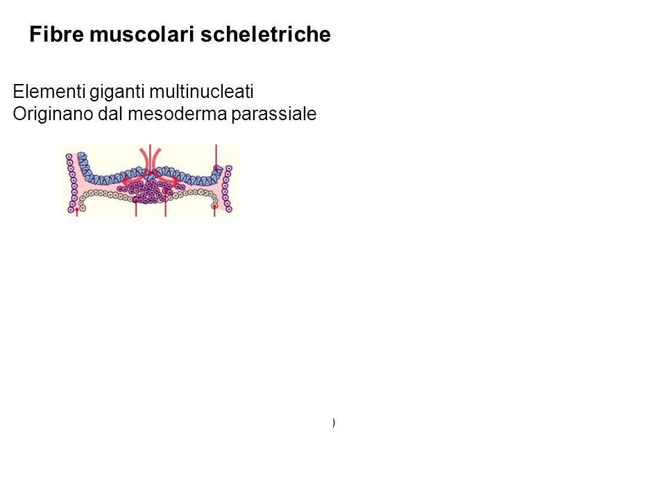 Fibre muscolari scheletriche Elementi giganti multinucleati Originano dal mesoderma parassiale Mioblasto miotubo nucleo miofibrilla nucleo Miotubo Fibra muscolare A.Mesoderma Parassiale (origina i somiti) B.Mesoderma Intermedio (origina i cordoni nefrogeni) C.Mesoderma Laterale (origina le sierose)