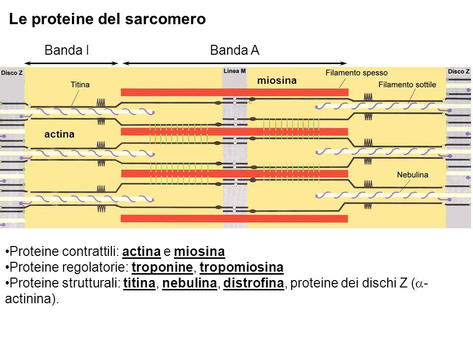 Le proteine del sarcomero Proteine contrattili: actina e miosina Proteine regolatorie: troponine, tropomiosina Proteine strutturali: titina, nebulina, distrofina, proteine dei dischi Z ( - actinina).