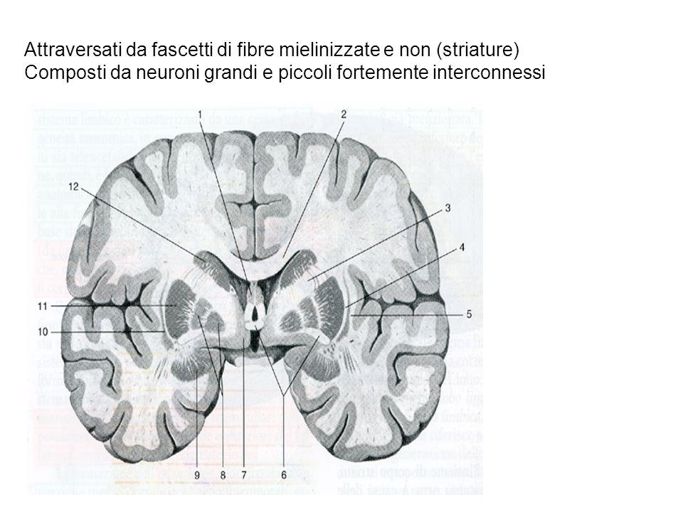 Attraversati da fascetti di fibre mielinizzate e non (striature) Composti da neuroni grandi e piccoli fortemente interconnessi