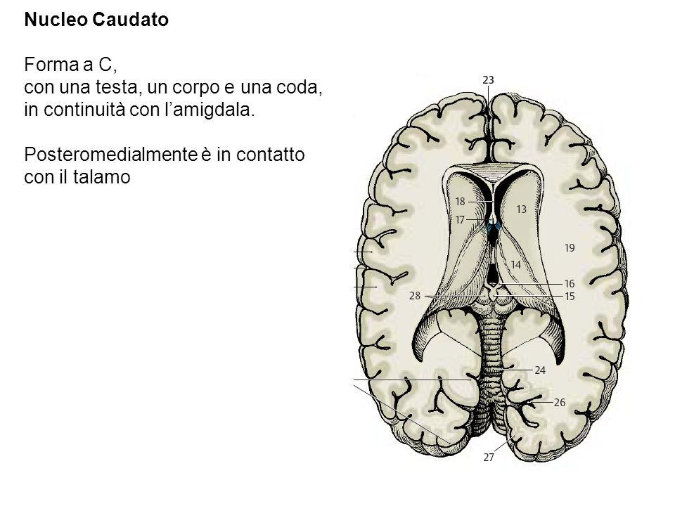 Nucleo Caudato Forma a C, con una testa, un corpo e una coda, in continuità con lamigdala. Posteromedialmente è in contatto con il talamo