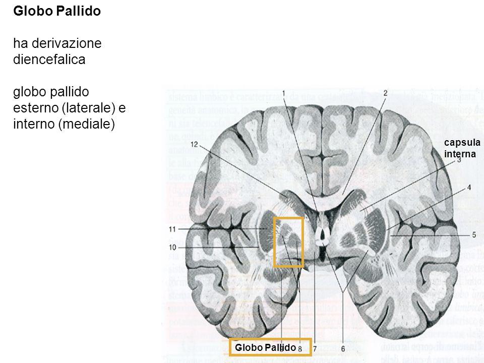 Globo Pallido ha derivazione diencefalica globo pallido esterno (laterale) e interno (mediale) Globo Pallido capsula interna